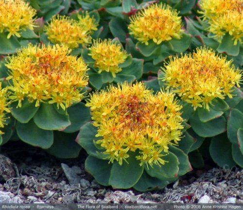 Persona e benessere Uncategorized  rodiola-1-500x432 Rhodiola rosea, la radice d'Oro dal profumo di rosa