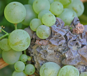 Persona e benessere  uva Attività antimicotica in vitro degli oli essenziali di lavanda e lavandino