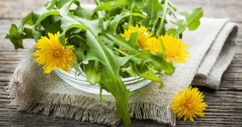 Persona e benessere  tarassaco-1-500x262 Tarassaco - Taraxaci  radix, Taraxaci radix cum herba, Taraxaci folium