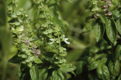 Persona e benessere  Basilico1-500x332 Il basilico una pianta regale
