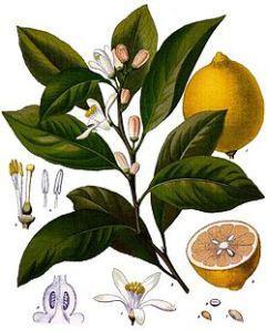 Persona e benessere  in-giardino-con-me-lerbario-di-naturalmentejo-L-ijAvni Citrus Paradisi: benefico Pompelmo!